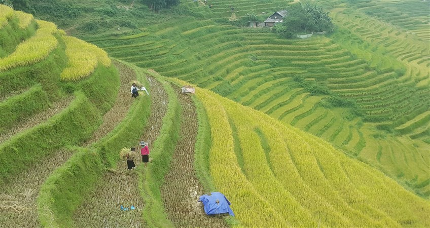 sapa rice terraced fields