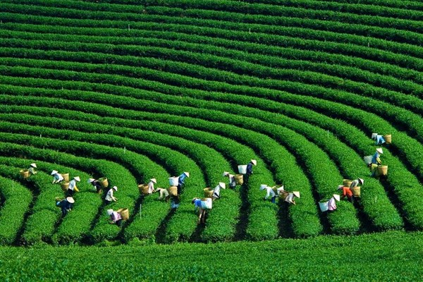 Paradise Valley Of Tea Plantation - The Moc Chau Plateau
