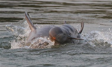 Freshwater Dolphins in Kratie